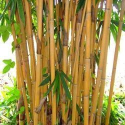 Image result for golden bamboo