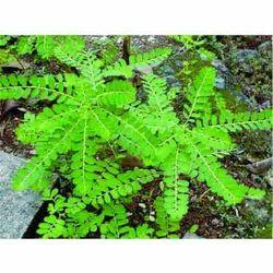 Phyllanthus Niruri - Bhui Amla