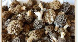 Guchchi / Morel Mushrooms