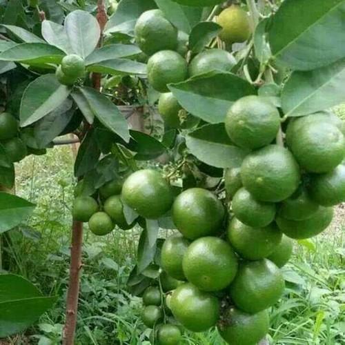 Thailand Lemon Plant