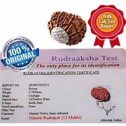 12 Mukhi Rudraksha