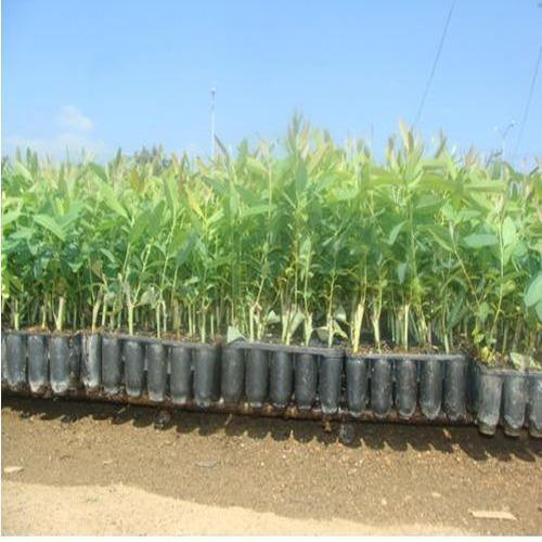 Eucalyptus Clone Plant At Rs 9 Piece Commercial Plant India