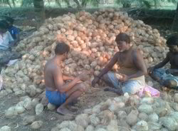 Brown Fresh Coconut