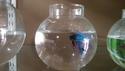 Fighter Aquarium Fish