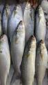 Aila Fish