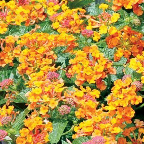Propagating Lantana Plant Ground Cover Flowering Plant