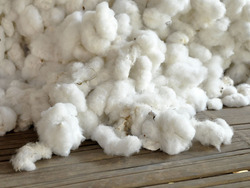 Raw Cotton Seeds
