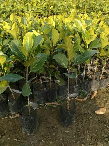 Images Of Jackfruit Tree