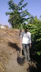 Pichakari Plant