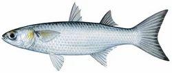 Sangot Fish