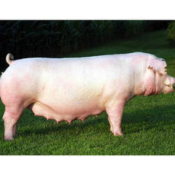 10 Months Old White Pig