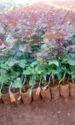 Top Secret Dutch Rose
