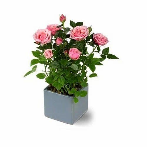 Pink Rose Pot Plant