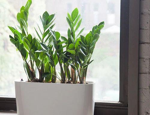 Indoor Plants Indoor Decorative Plant Manufacturer From Jalgaon