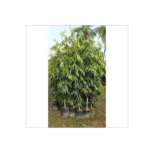 Ashok Tree अश क प ड