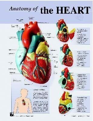 Human Physiology Charts - Heart Anatomy Chart Exporter ...