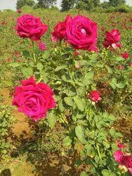 Multicolor Rose Plant