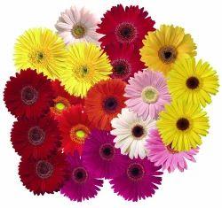 Live Jarbera Flowers