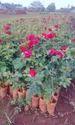 Top Secre Dutch Rose Plants