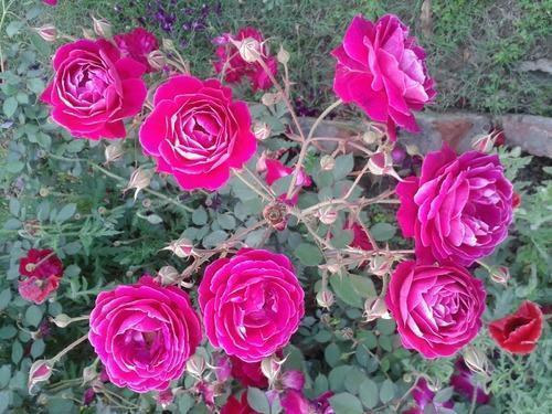 Rose Flower Desi Indian