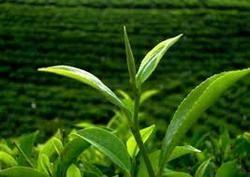 Camelia Sinensis Leaf