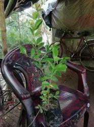 Strawberry Guava Plant
