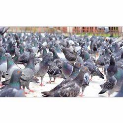 Bird Pest Control Service