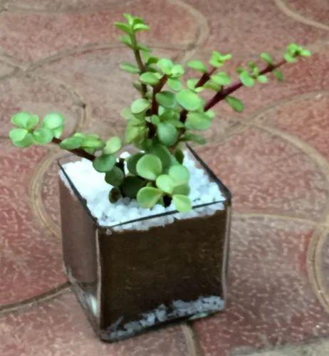 Zen Gardens Wholesaler Of Terrariums Air Purifying Lucky Jade