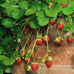 Own Natural Alpine Strawberry Seeds, For Commercial Markets, Pack Type: Standard