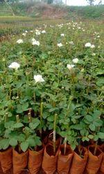 avilanche Dutch flowers plants