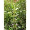 Asterancantha Longifolia - Talimkhana