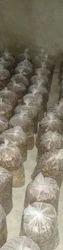 Oyster Mushroom Bags, Packaging: Plastic Bag Or Polythene Bag