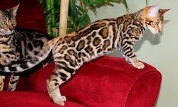 Price of persian cat in india