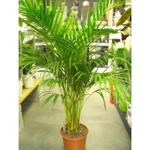 Palm In Pot.Areca Palm Pot Plant