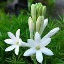 Rajnigandha Stick Flower