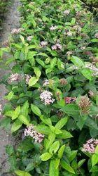 Full Sun Exposure Green Rongom Flower Plant, For Garden, Summer Bloom