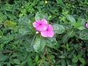 Vincarosea Leaves