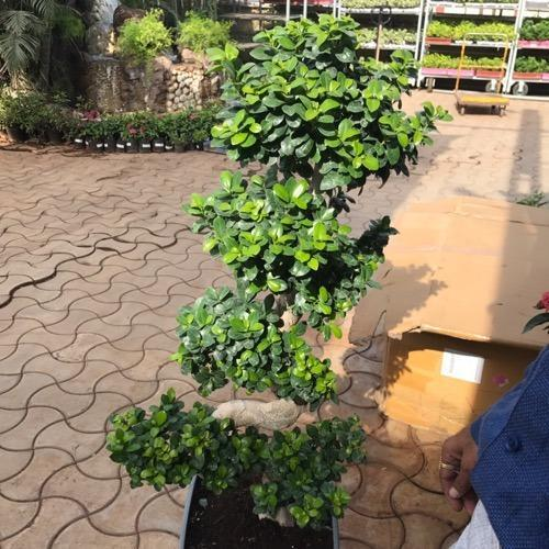 Ficus S Shape Plant