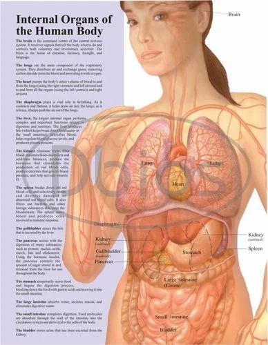 Human Body Chart at Rs 800 /piece | Anatomy Chart - Desh Biological ...