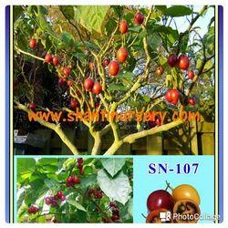 Tree Tomato Plant