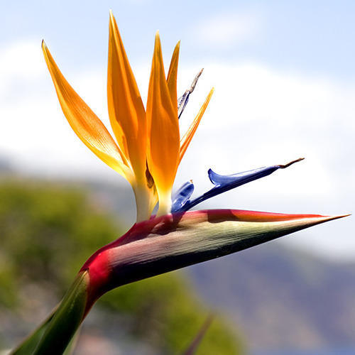 Bird Of Paradise Flower Wholesale Price For Bird Of Paradise Flower In India