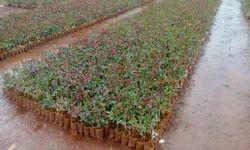 Dutch. Rose Plants