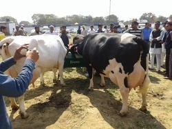 Jersey Cow Price In Haryana