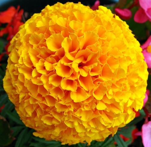 Yellow french marigold flower kolkata ka genda at rs 50 kilogram yellow french marigold flower kolkata ka genda mightylinksfo