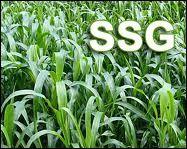 SSG Hybrid Seeds
