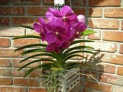 Vanda Orchid Somsri
