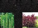 Amaranthus Caudatus Seeds