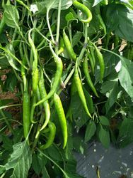 Chilli Seed in Hyderabad - Latest Price & Mandi Rates from