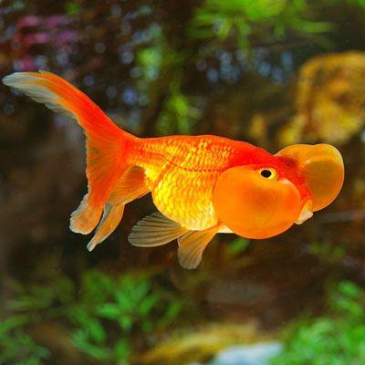 bubble eye goldfish at rs 10 piece kolathur chennai id