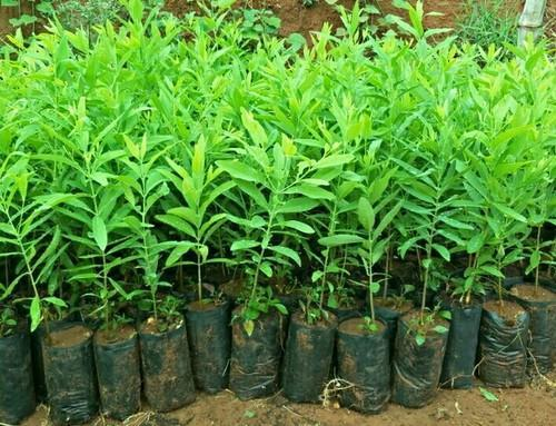 Indian Sandalwood Plant